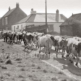 Seaton Village. Bill Humphrey's Ayrshire herd head for the fields after milking c 1970