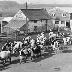 Bill Humphrey driving his dairy herd from Seaton West Farm through the village after milking. The building at centre is the original farmhouse built around 1600 but now demolished.. Photograph c 1970