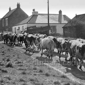 Bill Humphrey driving his dairy herd from Seaton West Farm through the village after milking. Photograph c 1970